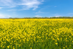 Flores amarelas da colza no campo fotografia de stock