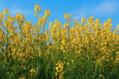 Flores amarelas da colza no campo fotos de stock royalty free