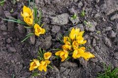 Flores amarelas da flor do açafrão no jardim Fotos de Stock Royalty Free