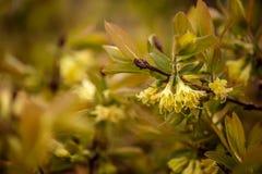 Flores amarelas da madressilva em Bush Fotografia de Stock Royalty Free