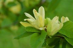 Flores amarelas da magnólia Imagem de Stock