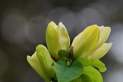 Flores amarelas da magnólia Imagem de Stock Royalty Free