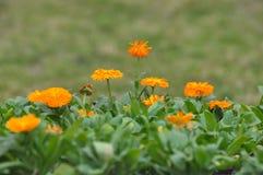 Flores amarelas da margarida Imagem de Stock