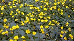 Flores amarelas da mola Fotografia de Stock Royalty Free