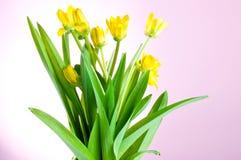 Flores amarelas da mola com folhas verdes Fotografia de Stock