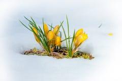 Flores amarelas da mola do açafrão Imagens de Stock Royalty Free