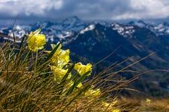 Flores amarelas da mola nas montanhas Fotos de Stock Royalty Free