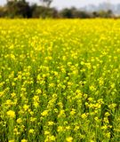 Flores amarelas da mostarda em um verde da exploração agrícola da mostarda Exploração agrícola do saag do Sarson no tempo do dia imagem de stock
