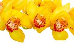 Flores amarelas da orquídea imagens de stock royalty free