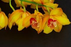 Flores amarelas da orquídea fotografia de stock royalty free