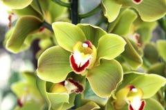 Flores amarelas da orquídea no jardim Fotografia de Stock