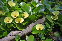 Flores amarelas da papoila aquática da água imagem de stock