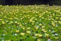 Flores amarelas da papoila aquática da água imagens de stock royalty free