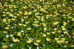 Flores amarelas da papoila aquática da água foto de stock