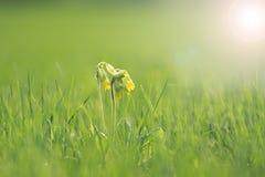 Flores amarelas da prímula Imagens de Stock
