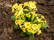 Flores amarelas da prímula - prímula vulgar Imagem de Stock Royalty Free