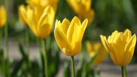 Flores amarelas das tulipas que balançam perto do vento vídeos de arquivo