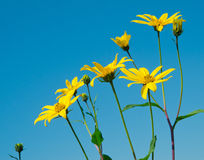 Flores amarelas de encontro ao céu azul Fotos de Stock Royalty Free