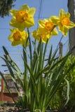 Flores amarelas de florescência do narciso Flores da mola, flor das flores Imagens de Stock Royalty Free