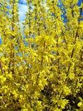 Flores amarelas de florescência no tempo de mola Fotografia de Stock