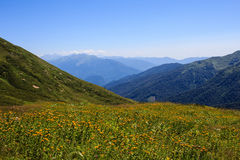 Flores amarelas de prados alpinos no vale das montanhas de Cáucaso Foto de Stock