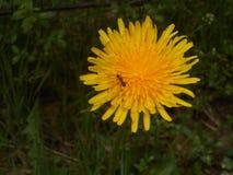 Flores amarelas de uma flor do dente-de-leão no prado com uma formiga imagem de stock