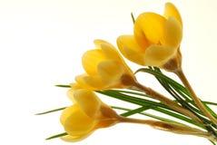 Flores amarelas do açafrão Fotografia de Stock