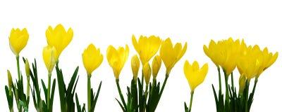 Flores amarelas do açafrão imagem de stock