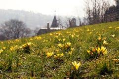 Flores amarelas do açafrão acima da cidade Fotografia de Stock Royalty Free