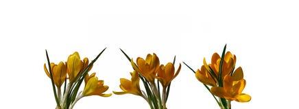 Flores amarelas do açafrão isoladas Imagens de Stock