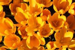 Flores amarelas do açafrão na luz solar Imagens de Stock Royalty Free