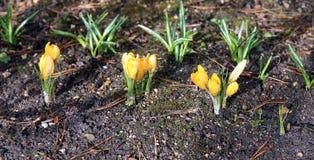 Flores amarelas do açafrão no jardim Imagem de Stock Royalty Free