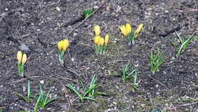 Flores amarelas do açafrão no jardim Imagens de Stock