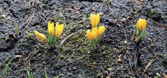 Flores amarelas do açafrão no jardim Foto de Stock Royalty Free