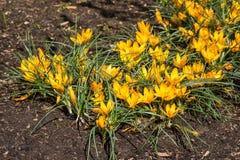 Flores amarelas do açafrão no jardim Mola Imagem de Stock