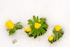 Flores amarelas do acônito de inverno na neve Foto de Stock