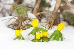 Flores amarelas do acônito de inverno na neve Imagem de Stock Royalty Free