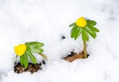Flores amarelas do acônito de inverno na neve Imagens de Stock