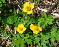 Flores amarelas do botão de ouro que florescem entre a folha verde foto de stock