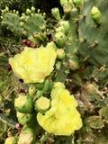 Flores amarelas do cacto pela praia fotos de stock