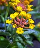Flores amarelas do camara do Lantana Foto de Stock Royalty Free