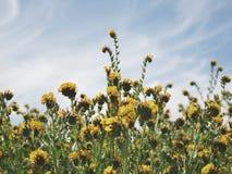 Flores amarelas do campo fotografia de stock