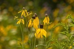 Flores amarelas do cone Imagem de Stock