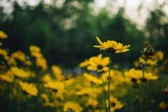 Flores amarelas do coreopsis Fotografia de Stock