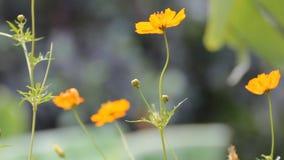 Flores amarelas do cosmos video estoque