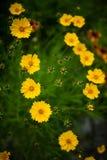 Flores amarelas do cosmos em um parque Foto de Stock Royalty Free