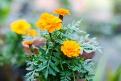 Flores amarelas do cravo-de-defunto na luz solar Um gênero de Tagetes ou umas plantas constantes, na maior parte herbáceas na fam fotografia de stock royalty free
