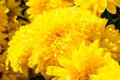 Flores amarelas do crisântemo Imagem de Stock