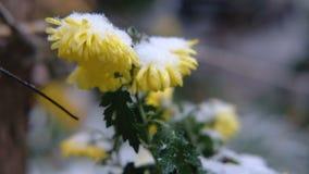 Flores amarelas do crisântemo com as folhas verdes sob a neve A primeira neve, outono, mola, inverno adiantado Movimento lento vídeos de arquivo