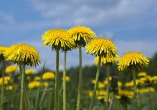 Flores amarelas do dente-de-leão Imagens de Stock Royalty Free